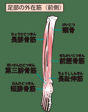 前脛骨筋について