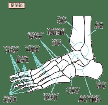 足部の骨について