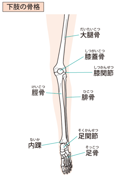 下腿の骨(脛骨、腓骨)
