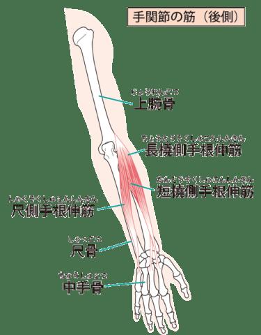 尺側手根伸筋、総指伸筋、小指伸筋