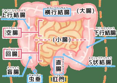 小腸について