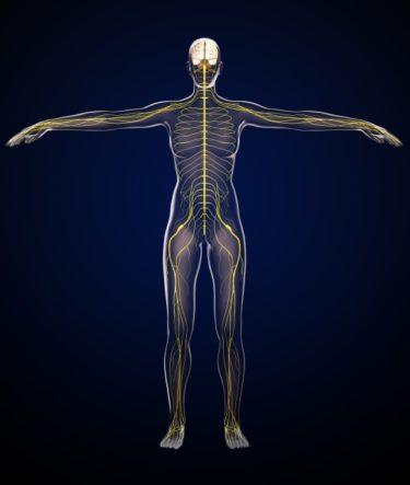 末梢の運動神経について
